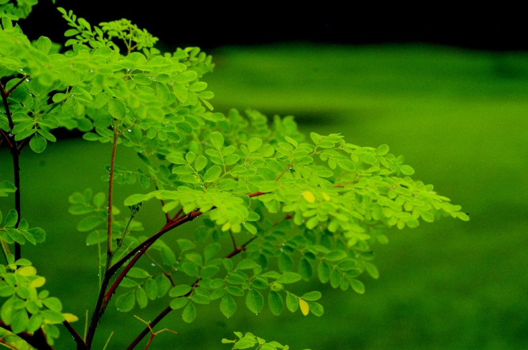 moringa-oleifera.jpg